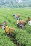 Οι αγρότες εργάζονται στον τομέα τσαγιού, Bao LOC, ήχος καμπάνας Lam, Βιετνάμ Στοκ εικόνα με δικαίωμα ελεύθερης χρήσης