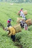 Οι αγρότες εργάζονται στον τομέα τσαγιού, Bao LOC, ήχος καμπάνας Lam, Βιετνάμ Στοκ εικόνες με δικαίωμα ελεύθερης χρήσης