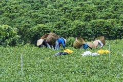 Οι αγρότες εργάζονται στον τομέα τσαγιού, Bao LOC, ήχος καμπάνας Lam, Βιετνάμ Στοκ Εικόνες