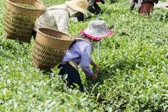 Οι αγρότες εργάζονται στον τομέα τσαγιού, Bao LOC, ήχος καμπάνας Lam, Βιετνάμ Στοκ Φωτογραφίες