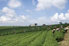 Οι αγρότες εργάζονται στον τομέα τσαγιού, Bao LOC, ήχος καμπάνας Lam, Βιετνάμ Στοκ Φωτογραφία