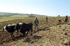 Οι αγρότες οργώνουν τον τομέα με το άροτρο και τα βόδια στοκ φωτογραφία