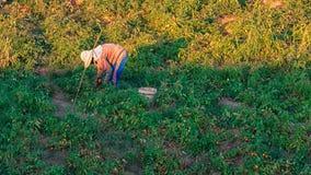 Οι αγρότες συγκομίζουν τις ντομάτες Στοκ Φωτογραφίες