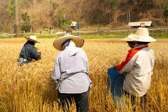 Τομέας ρυζιού κριθαριού στοκ εικόνα με δικαίωμα ελεύθερης χρήσης