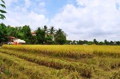 Οι αγρότες συγκομίζουν το ρύζι στο χρυσό τομέα την άνοιξη, στο δυτικό το Σεπτέμβριο του 2014 του Βιετνάμ Στοκ Φωτογραφία