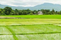 Οι αγρότες το ρύζι στο αγρόκτημα στοκ εικόνα