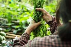 Οι αγρότες φρέσκων λαχανικών τυλίγουν τα λαχανικά που πωλούν Στοκ Εικόνες