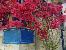 Οι ακανθώδεις διακοσμητικοί Μπους αμπέλων Bougainvillea, και τα δέντρα με το λουλούδι-όπως ελατήριο φεύγουν κοντά στα λουλούδια τ Στοκ εικόνα με δικαίωμα ελεύθερης χρήσης