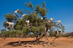 Οι ακουσμένες για αίγες αναρριχήθηκαν σε ένα argan δέντρο σε έναν τρόπο σε Essaouira, Μαρόκο Στοκ Φωτογραφία