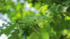 Οι ακτίνες ήλιων και τα πράσινα φύλλα κλείνουν επάνω απόθεμα βίντεο