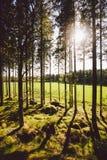 Οι ακτίνες ήλιων ` s κάνουν τον τρόπο τους μέσω των κορμών των δέντρων σε ένα δάσος πεύκων στοκ φωτογραφίες με δικαίωμα ελεύθερης χρήσης