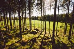 Οι ακτίνες ήλιων ` s κάνουν τον τρόπο τους μέσω των κορμών των δέντρων σε ένα δάσος πεύκων Στοκ φωτογραφία με δικαίωμα ελεύθερης χρήσης