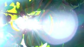 Οι ακτίνες του ήλιου λάμπουν μέσω των μούρων του γλυκού κερασιού απόθεμα βίντεο