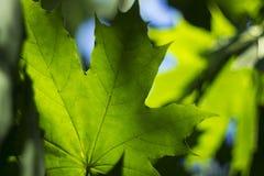 Οι ακτίνες του ήλιου λάμπουν μέσω των πράσινων φύλλων ενός σφενδάμνου Στοκ Φωτογραφίες