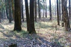 Οι ακτίνες του ήλιου φωτίζουν το δάσος την άνοιξη στοκ εικόνα