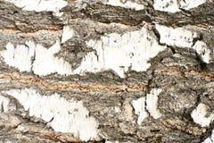 οι ανασκοπήσεις αποφλοιώνουν το σκοτεινό δέντρο σύστασης φυσική σύσταση Άσπρο χρώμα Στοκ Εικόνες