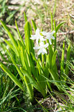 Οι ανθίζοντας άσπροι, ρόδινοι και μπλε υάκινθοι καλλιεργούν την άνοιξη, primroses, floral άρωμα των λουλουδιών άνοιξη, βολβοειδή  Στοκ Εικόνα