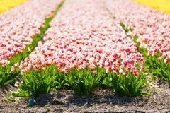 Οι ανθίζοντας ζωηρόχρωμες τουλίπες δημόσια ο κήπος λουλουδιών Δημοφιλής τουριστικός χώρος Lisse, Ολλανδία, Κάτω Χώρες Εκλεκτική ε στοκ φωτογραφίες