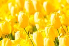 Οι ανθίζοντας κίτρινες ζωηρόχρωμες τουλίπες δημόσια ο κήπος λουλουδιών Δημοφιλής τουριστικός χώρος Lisse, Ολλανδία, Κάτω Χώρες εκ στοκ φωτογραφία με δικαίωμα ελεύθερης χρήσης