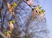 Οι ανθίζοντας κλάδοι δέντρων negundo Acer, καταπληκτικά πράσινα κόκκινα λουλούδια στην άνθιση, sprintime καρυκεύουν, άποψη λεπτομ στοκ εικόνα