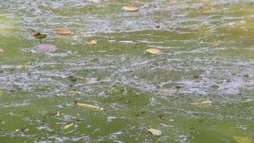 Οι ανθίσεις αλγών ποτίζουν την πράσινη επιφάνεια στη φύση νερού ρύπανσης των υδάτων και περιβαλλοντικός με την κλίση και τη ροή σ απόθεμα βίντεο