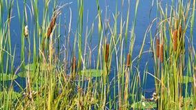 Οι αντανακλάσεις των ουρών και του κρίνου γατών γεμίζουν να επιπλεύσουν στο νερό στην ακτή μιας λίμνης Μινεσότας απόθεμα βίντεο