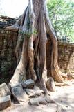 Οι αρχαίες καταστροφές και οι ρίζες δέντρων, ενός ιστορικού Khmer ναού μέσα Στοκ Εικόνα