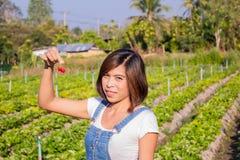 Οι ασιατικές γυναίκες κρατούν την κόκκινη φράουλα στο αγρόκτημα στοκ φωτογραφία με δικαίωμα ελεύθερης χρήσης