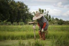 Οι ασιατικοί αγρότες αποσύρουν τα σπορόφυτα για να αυξηθούν το ρύζι στη περίοδο βροχών που είναι ένας τρόπος της ζωής στην επαρχί Στοκ φωτογραφία με δικαίωμα ελεύθερης χρήσης