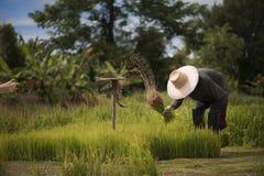 Οι ασιατικοί αγρότες αποσύρουν τα σπορόφυτα για να αυξηθούν το ρύζι στη περίοδο βροχών που είναι ένας τρόπος της ζωής στην επαρχί Στοκ εικόνες με δικαίωμα ελεύθερης χρήσης