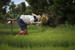 Οι ασιατικοί αγρότες αποσύρουν τα σπορόφυτα για να αυξηθούν το ρύζι στη περίοδο βροχών που είναι ένας τρόπος της ζωής στην επαρχί Στοκ φωτογραφίες με δικαίωμα ελεύθερης χρήσης