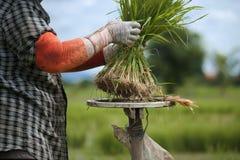 Οι ασιατικοί αγρότες αποσύρουν τα σπορόφυτα για να αυξηθούν το ρύζι στη περίοδο βροχών που είναι ένας τρόπος της ζωής στην επαρχί Στοκ Εικόνα