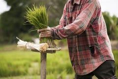 Οι ασιατικοί αγρότες αποσύρουν τα σπορόφυτα για να αυξηθούν το ρύζι στη περίοδο βροχών που είναι ένας τρόπος της ζωής στην επαρχί Στοκ εικόνα με δικαίωμα ελεύθερης χρήσης