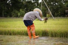 Οι ασιατικοί αγρότες αποσύρουν τα σπορόφυτα για τη φύτευση ρυζιού Στοκ Φωτογραφία