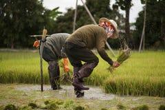 Οι ασιατικοί αγρότες αποσύρουν τα σπορόφυτα για τη φύτευση ρυζιού Στοκ εικόνες με δικαίωμα ελεύθερης χρήσης