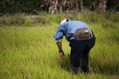 Οι ασιατικοί αγρότες αποσύρουν τα σπορόφυτα για το ρύζι φυτεύοντας, Ταϊλάνδη Στοκ εικόνα με δικαίωμα ελεύθερης χρήσης