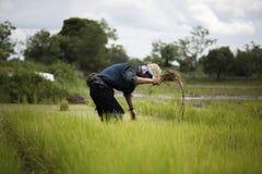 Οι ασιατικοί αγρότες αποσύρουν τα σπορόφυτα για το ρύζι φυτεύοντας, Ταϊλάνδη Στοκ Εικόνα