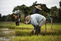 Οι ασιατικοί αγρότες αποσύρουν τα σπορόφυτα για το ρύζι φυτεύοντας, Ταϊλάνδη Στοκ Φωτογραφίες
