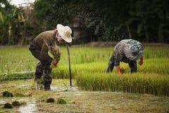 Οι ασιατικοί αγρότες αποσύρουν τα σπορόφυτα για το ρύζι φυτεύοντας, Ταϊλάνδη Στοκ φωτογραφίες με δικαίωμα ελεύθερης χρήσης