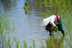 Οι ασιατικοί αγρότες καλλιεργούν το ρύζι στην Ταϊλάνδη Στοκ Φωτογραφίες