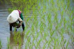 Οι ασιατικοί αγρότες καλλιεργούν το ρύζι στην Ταϊλάνδη Στοκ φωτογραφίες με δικαίωμα ελεύθερης χρήσης