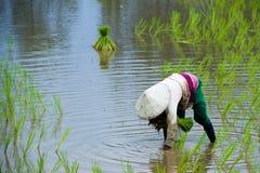Οι ασιατικοί αγρότες καλλιεργούν το ρύζι στην Ταϊλάνδη Στοκ εικόνα με δικαίωμα ελεύθερης χρήσης