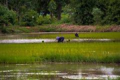 Οι ασιατικοί αγρότες καλλιεργούν το ρύζι στην Ταϊλάνδη Στοκ Φωτογραφία