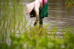 Οι ασιατικοί αγρότες καλλιεργούν το ρύζι στην Ταϊλάνδη Στοκ Εικόνα