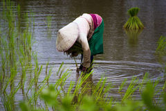 Οι ασιατικοί αγρότες καλλιεργούν το ρύζι στην Ταϊλάνδη Στοκ φωτογραφία με δικαίωμα ελεύθερης χρήσης