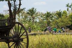 Οι ασιατικοί αγρότες συγκομίζουν τους σπόρους ρυζιού Στοκ Φωτογραφίες