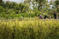 Οι ασιατικοί αγρότες συγκομίζουν τους σπόρους ρυζιού Στοκ Εικόνες