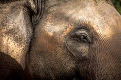 Οι ασιατικοί ελέφαντες κλείνουν επάνω Στοκ Εικόνα