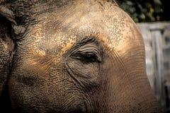 Οι ασιατικοί ελέφαντες κλείνουν επάνω Στοκ Φωτογραφία