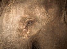 Οι ασιατικοί ελέφαντες κλείνουν επάνω Στοκ εικόνα με δικαίωμα ελεύθερης χρήσης